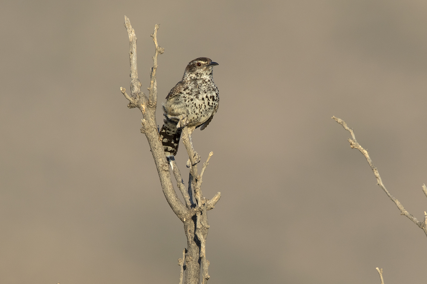 CACTUS WREN - BREWSTER COUNTY TX , AUGUST 2019