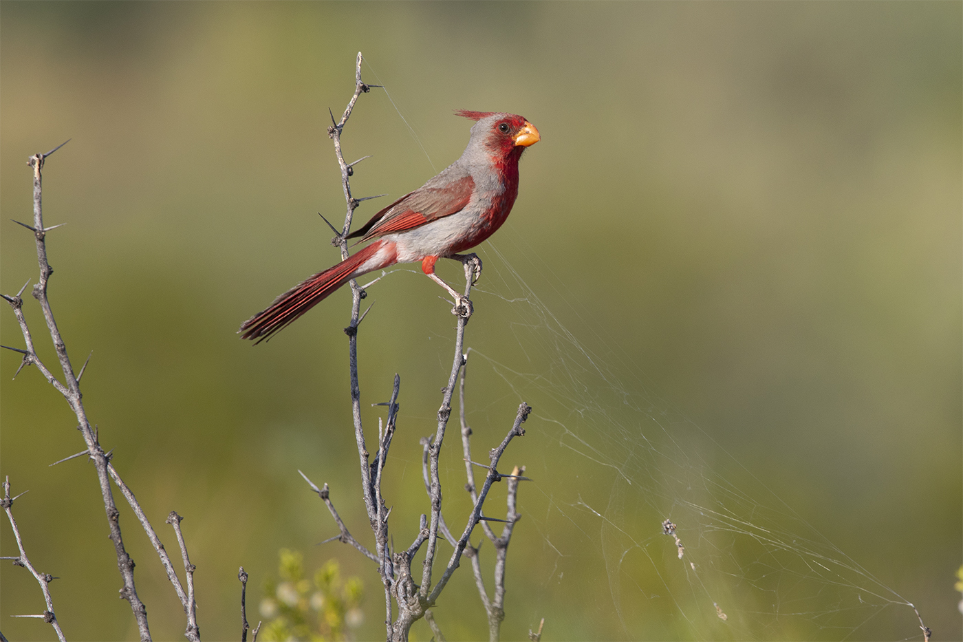 PYRRHULOXIA - BREWSTER COUNTY TX , AUGUST 2019