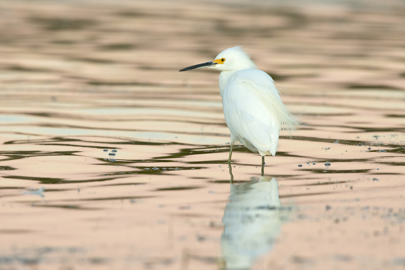 SNOWY EGRET - TAYLOR COUNTY TX OCTOBER, 2019