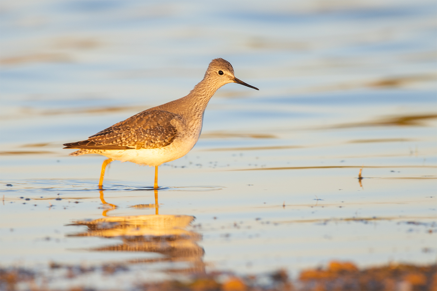 LESSER YELLOWLEGS - TAYLOR COUNTY TX OCTOBER, 2019