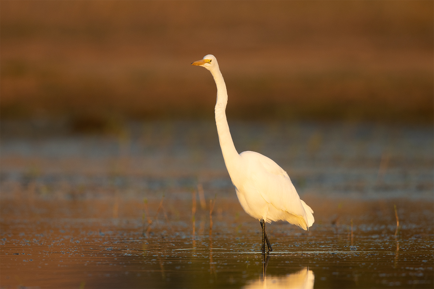 GREAT EGRET - TAYLOR COUNTY TX OCTOBER, 2019
