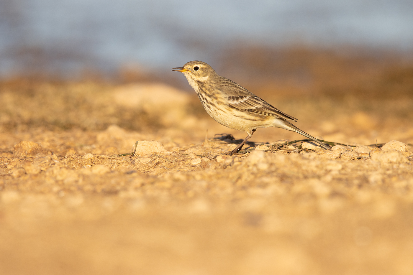 AMERICAN PIPIT - TAYLOR COUNTY TX OCTOBER, 2019