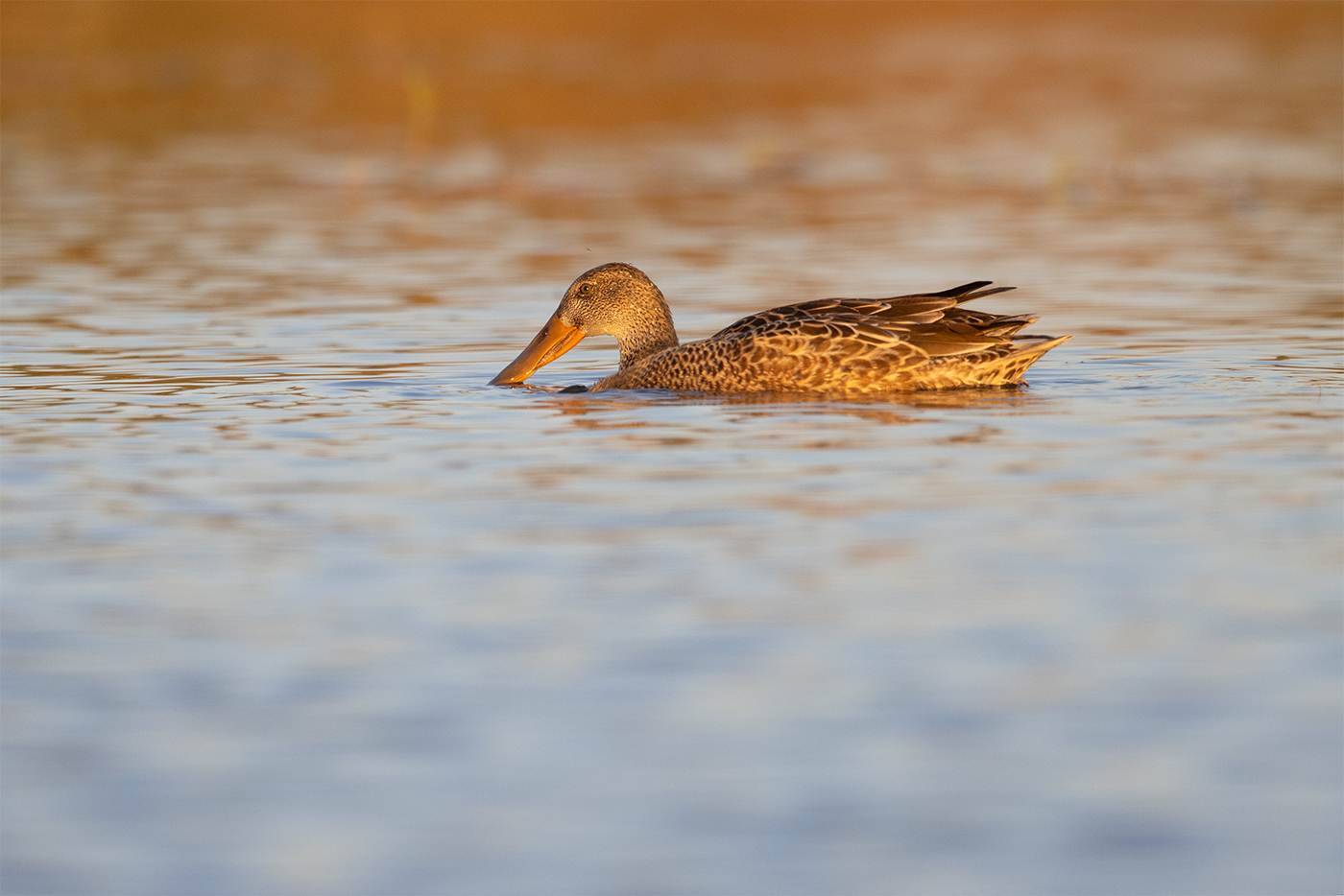 NORTHERN SHOVELER - TAYLOR COUNTY TX OCTOBER, 2019