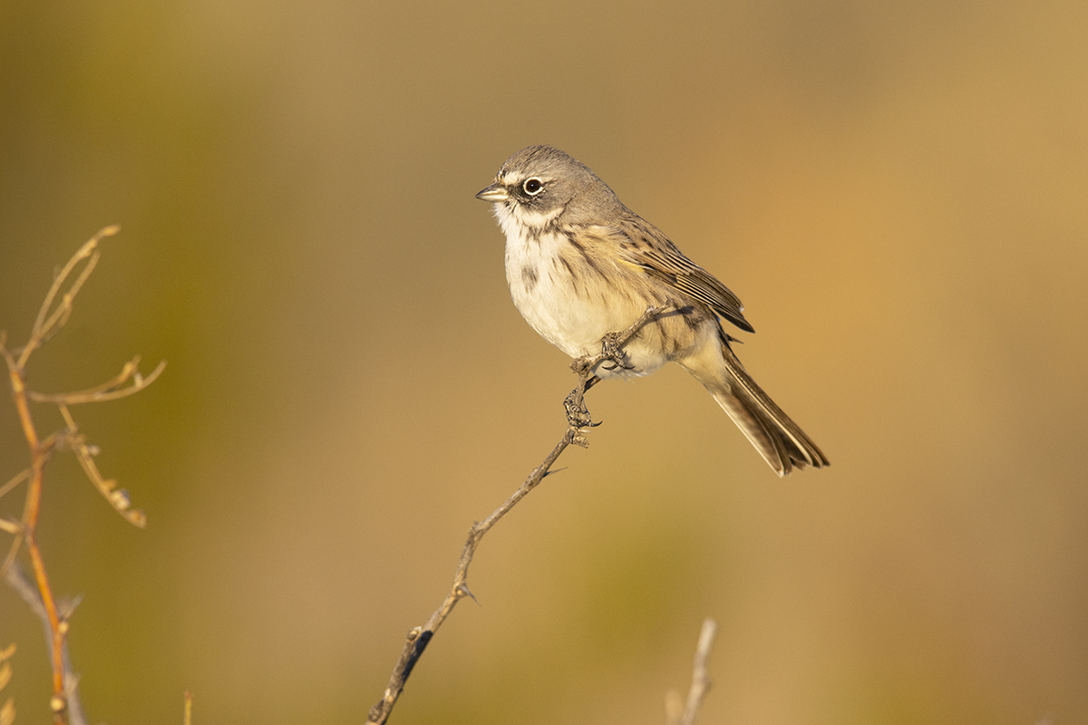SAGEBRUSH SPARROW - BREWSTER COUNTY TX DEC. 2019