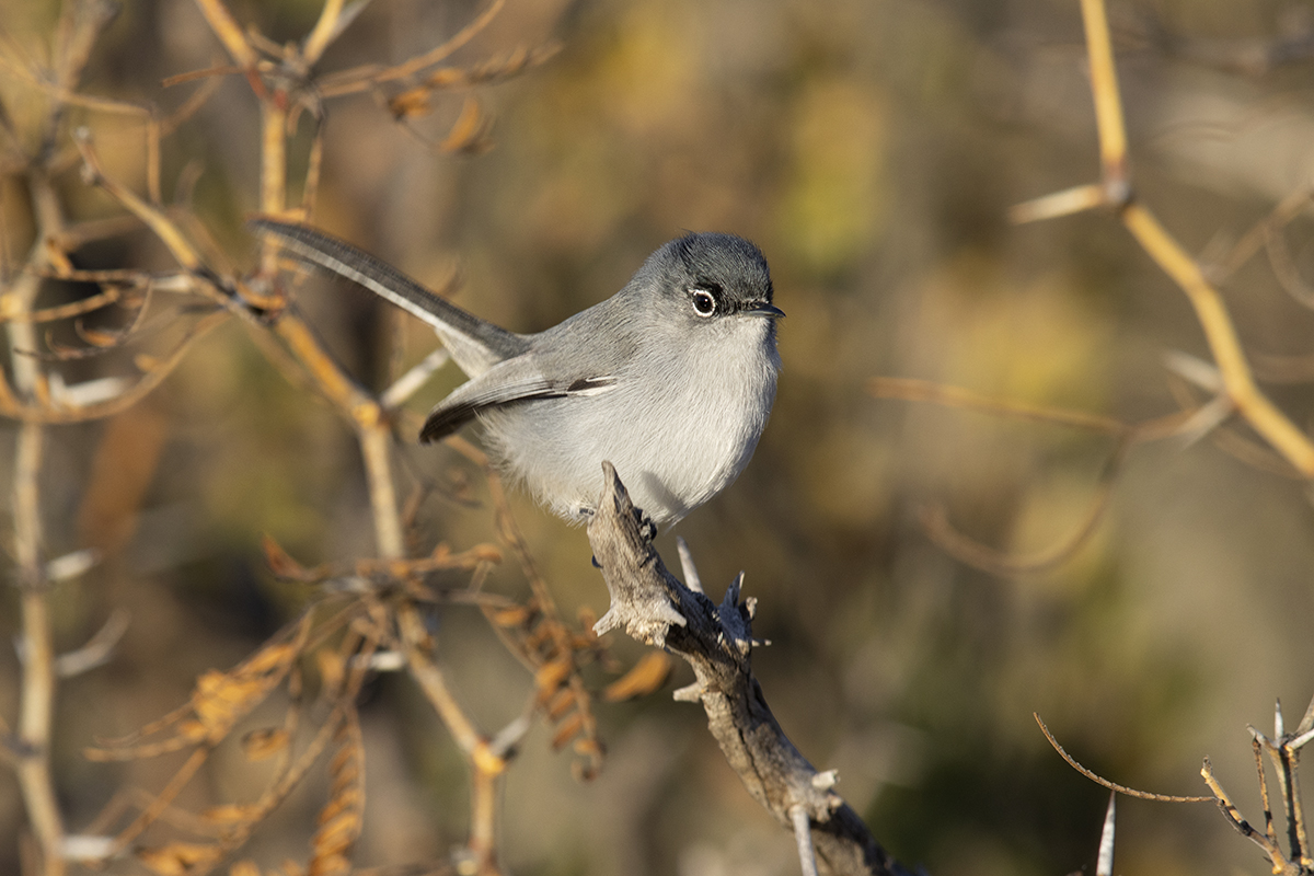 BLACK-TAILED GNATCATCHER - BREWSTER COUNTY TX DEC. 2019