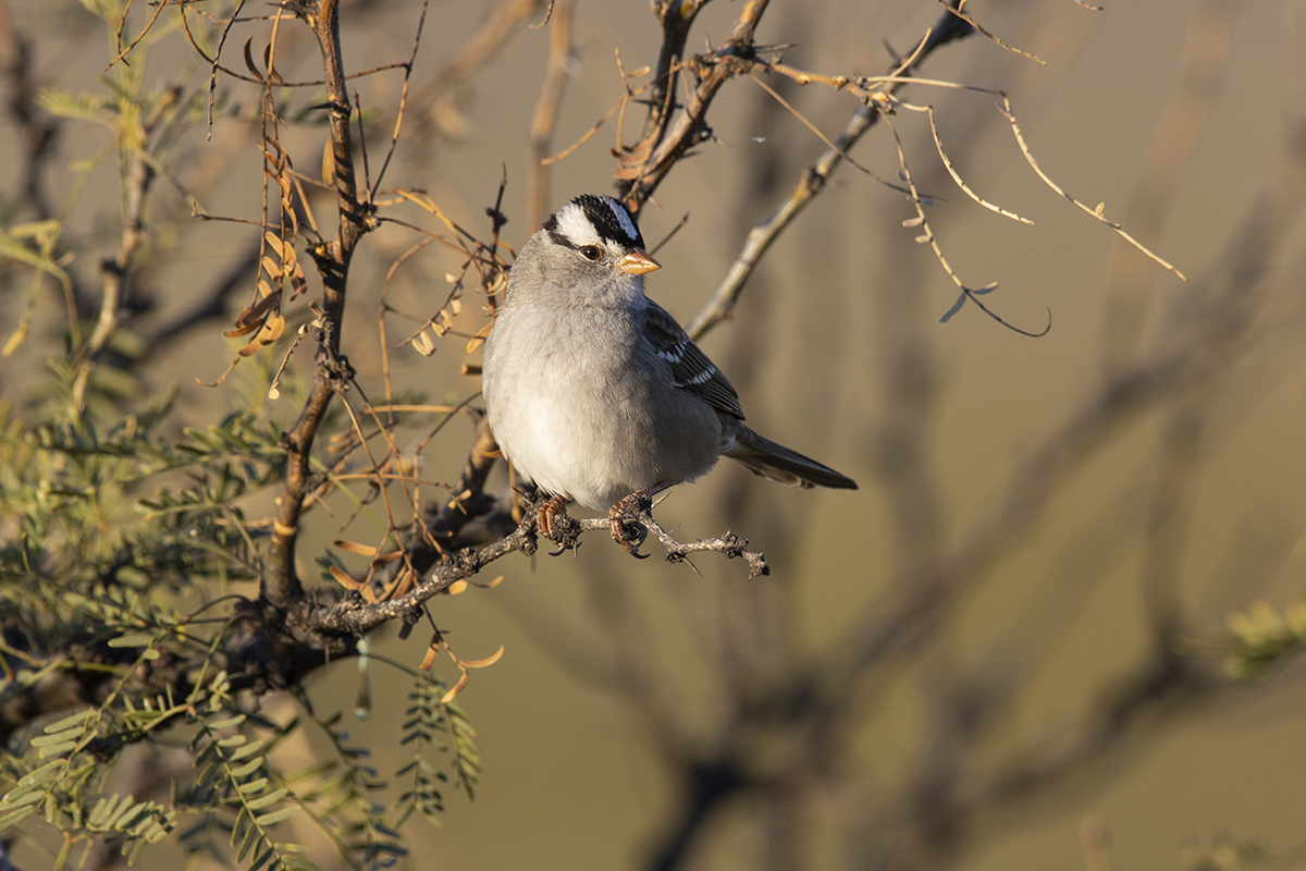 WHITE-CROWNED SPARROW - BREWSTER COUNTY TX DEC. 2019
