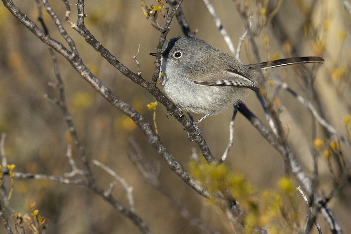 BLACK-TAILED GNATCATCHER - BREWSTER COUNTY TEXAS JAN, 2020