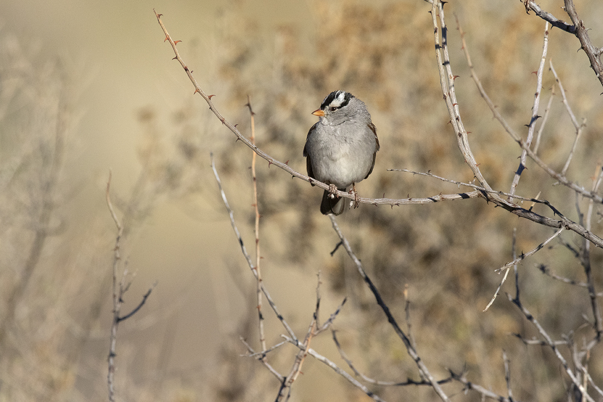 WHITE-CROWNED SPARROW - BREWSTER COUNTY TEXAS JAN, 2020