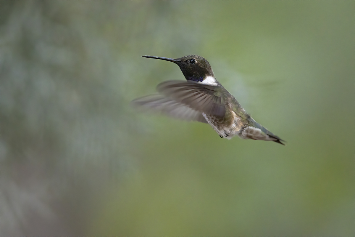 BLACK-CHINNED HUMMINGBIRD - BREWSTER COUNTY TX APRIL, 2020