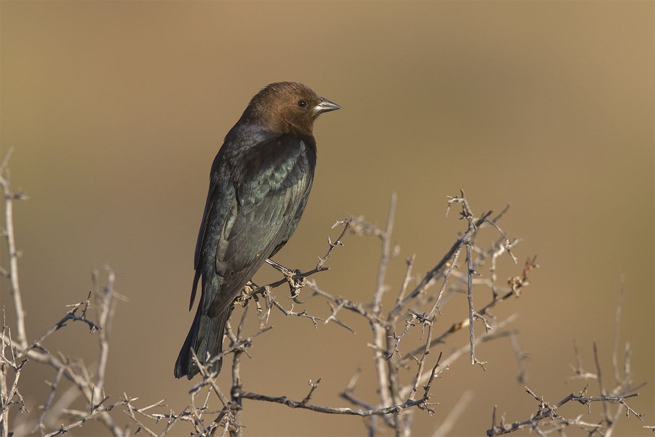 BROWN-HEADED COWBIRD - BREWSTER COUNTY TX APRIL, 2020