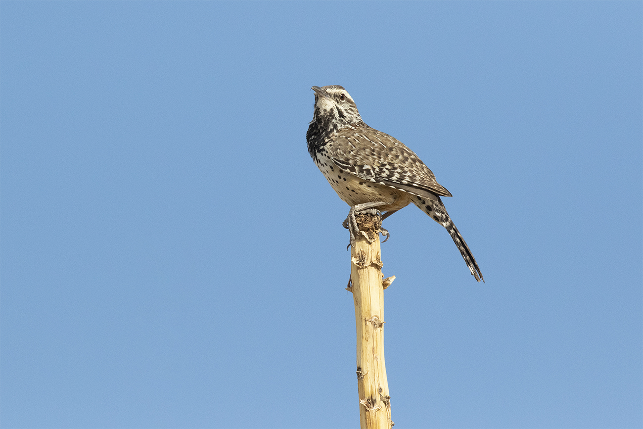 CACTUS WREN - BREWSTER COUNTY TX APRIL, 2020