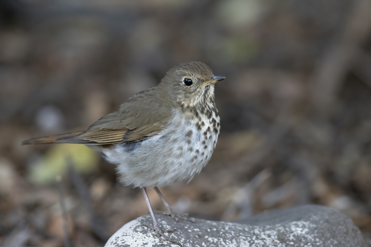 HERMIT THRUSH - BREWSTER COUNTY TX APRIL, 2020