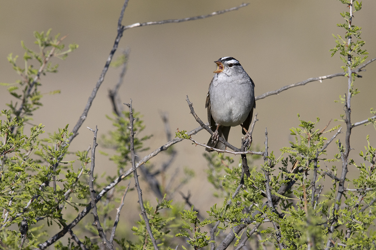 WHITE-CROWNED SPARROW - BREWSTER COUNTY TX APRIL, 2020
