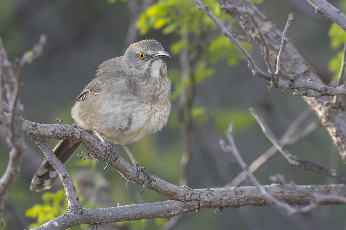 CURVE-BILLED THRASHER - BREWSTER COUNTY TX APRIL, 2020