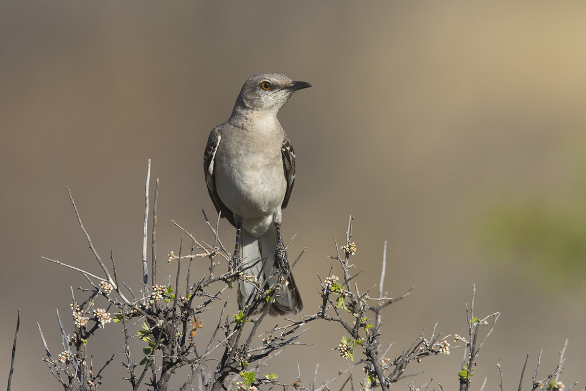 NORTHERN MOCKINGBIRD - BREWSTER COUNTY TX APRIL, 2020
