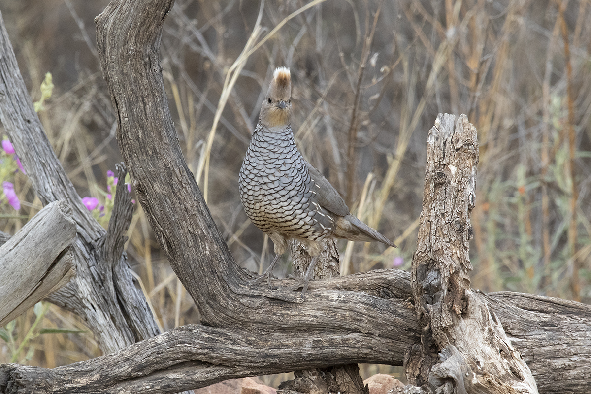 SCALED QUAIL - BREWSTER COUNTY TX APRIL, 2020