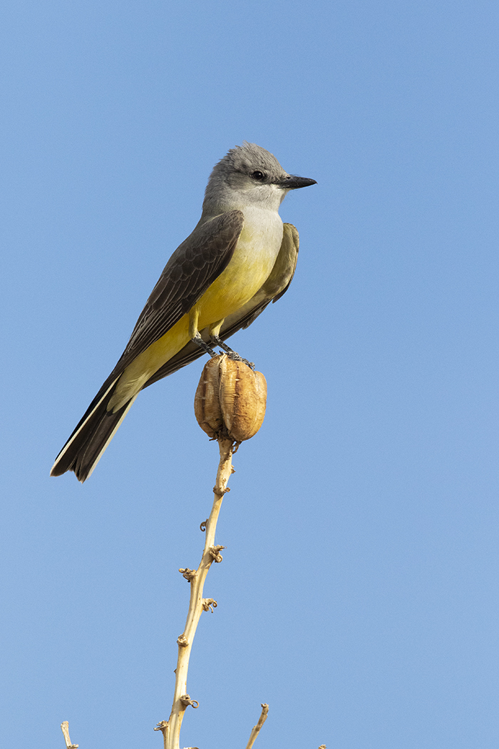 WESTERN KINGBIRD - BREWSTER COUNTY TX APRIL, 2020