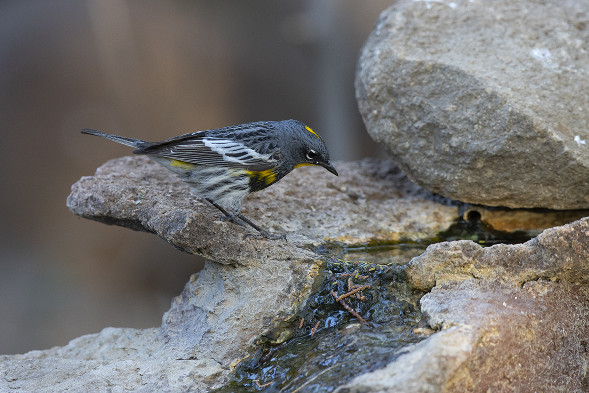 YELLOW-RUMPED WARBLER - BREWSTER COUNTY TX APRIL, 2020