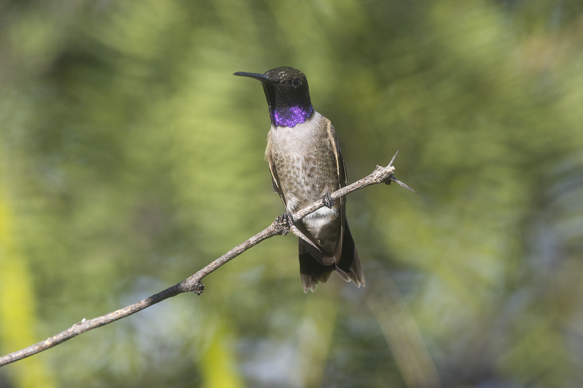 BLACK-CHINNED HUMMINGBIRD - BREWSTER COUNTY TX MAY, 2020