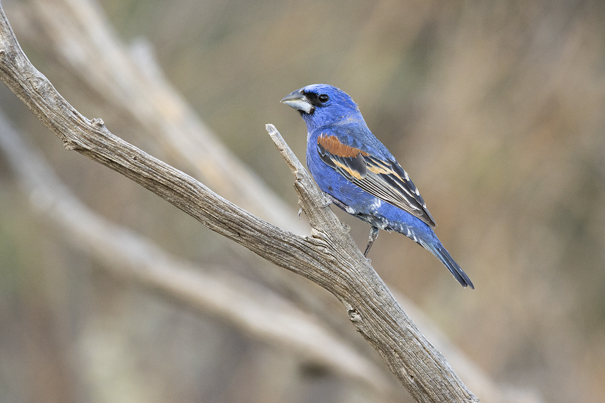 BLUE GROSBEAK - BREWSTER COUNTY TX MAY, 2020