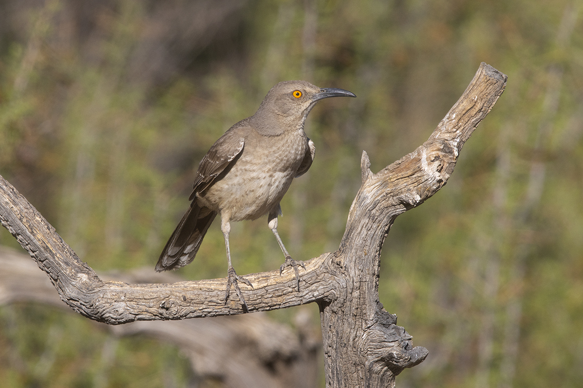 CURVE-BILLED THRASHER - BREWSTER COUNTY TX MAY, 2020