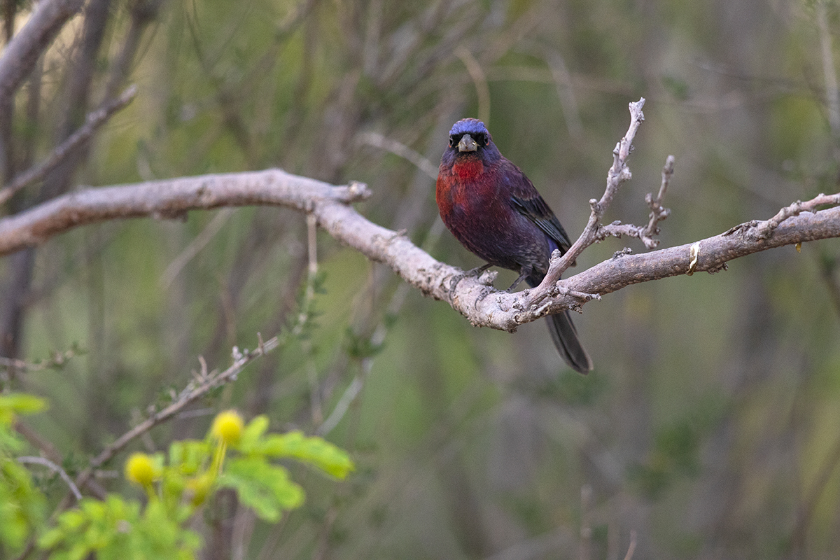 VARIED BUNTING - BREWSTER COUNTY TX APRIL, 2020