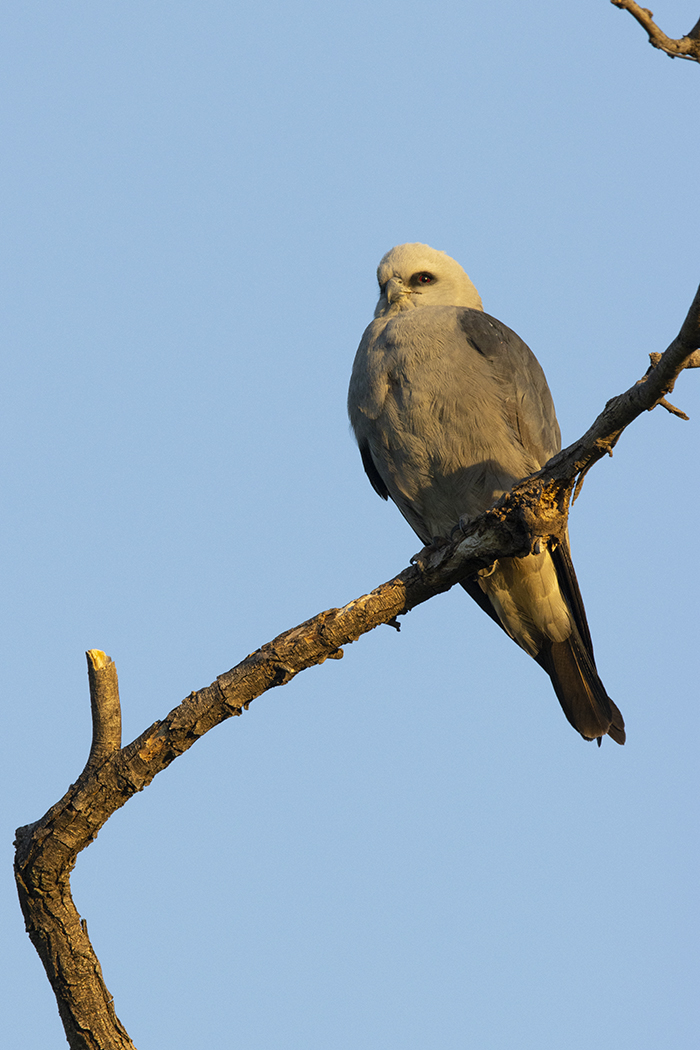 MISSISSIPPI KITE - TAYLOR COUNTY TX MAY, 2020