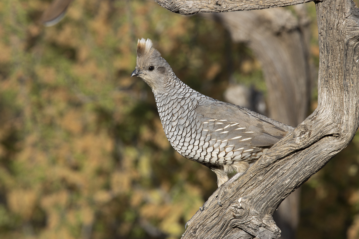 SCALED QUAIL - BREWSTER COUNTY TX MAY, 2020