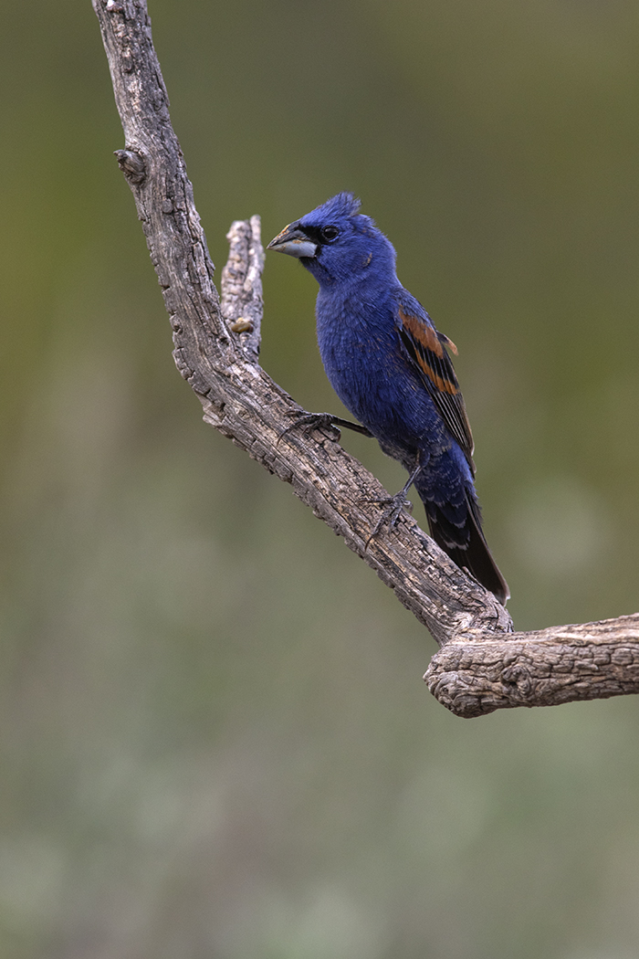 BLUE GROSBEAK - BREWSTER COUNTY TX JUNE, 2020