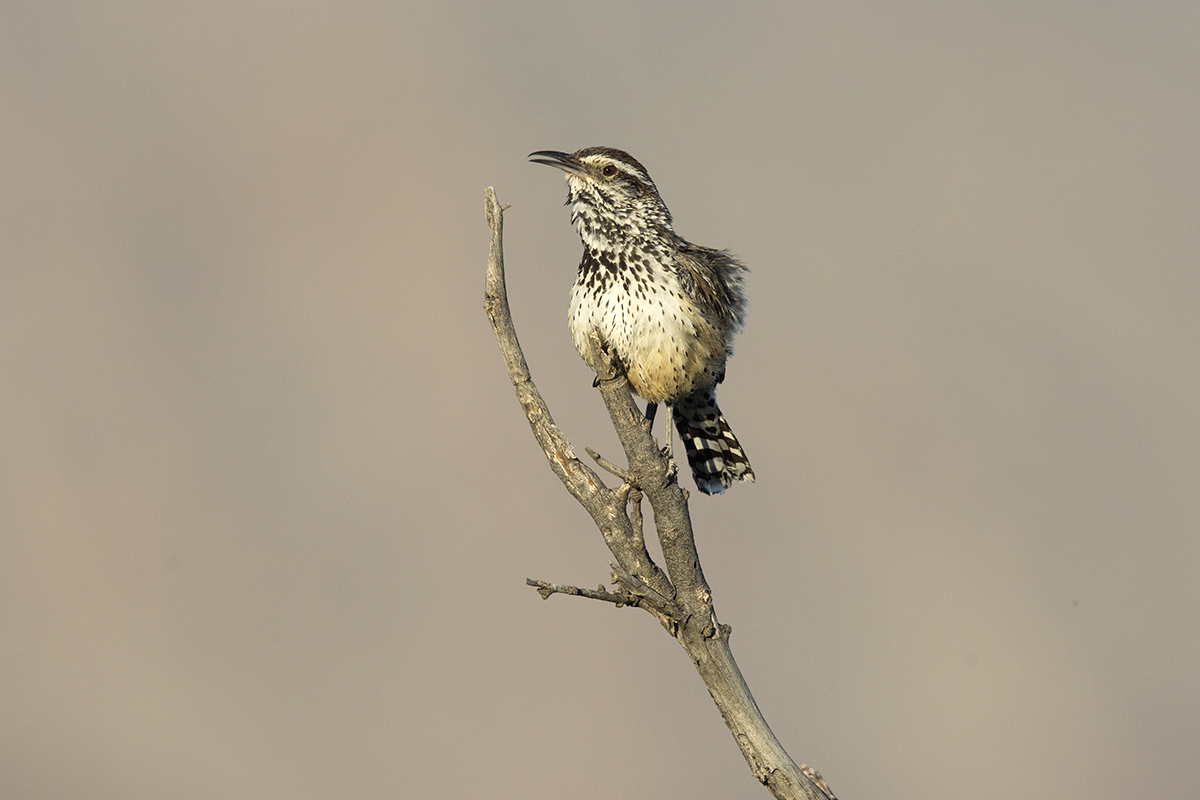 CACTUS WREN - BREWSTER COUNTY TX JUNE, 2020