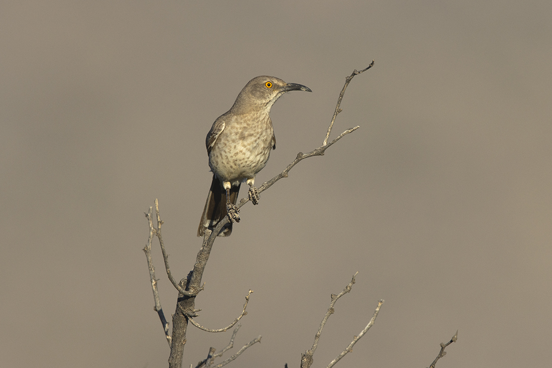 CURVE-BILLED THRASHER - BREWSTER COUNTY TX JUNE, 2020