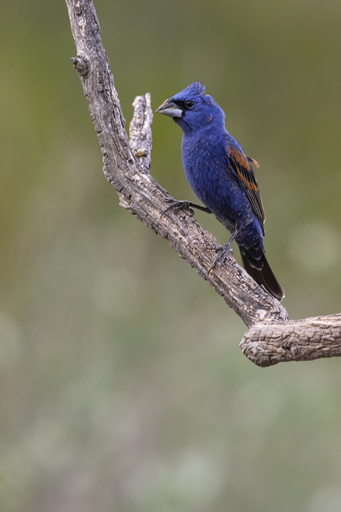 BLUE GROSBEAK - BREWSTER COUNTY TX JULY, 2020
