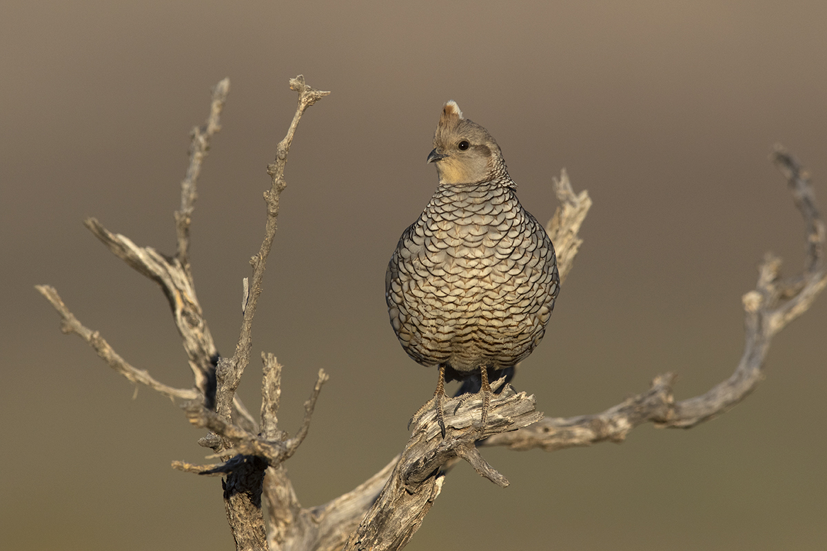 SCALED QUAIL - BREWSTER COUNTY TX JULY, 2020