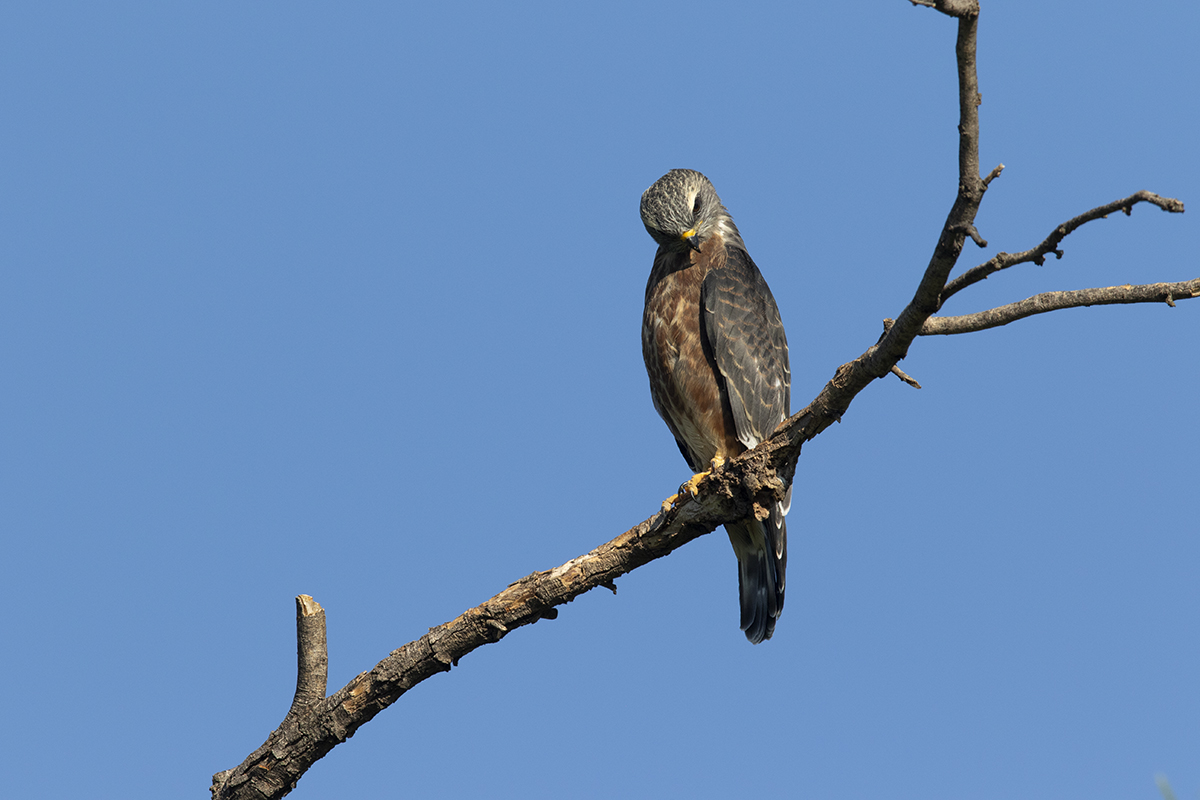 MISSISSIPPI KITE - TAYLOR COUNTY TX JULY, 2020