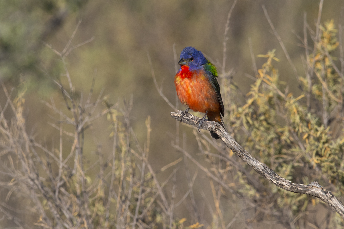 PAINTED BUNTING - BREWSTER COUNTY TX JULY, 2020