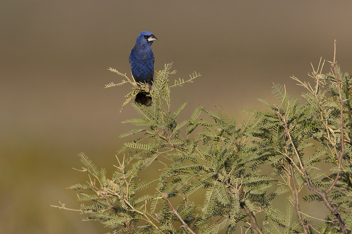 BLUE GROSBEAK - BREWSTER COUNTY TX AUGUST, 2020