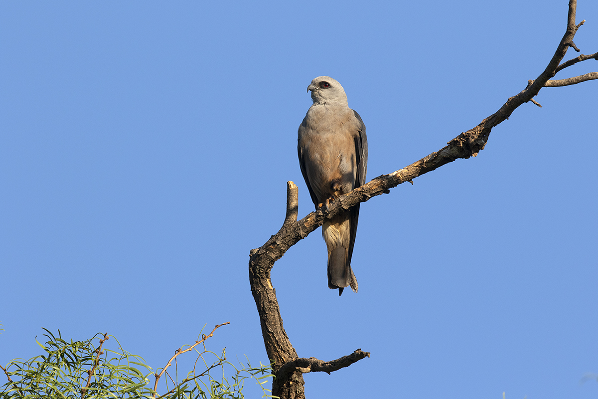 MISSISSIPPI KITE - TAYLOR COUNTY TX AUGUST, 2020