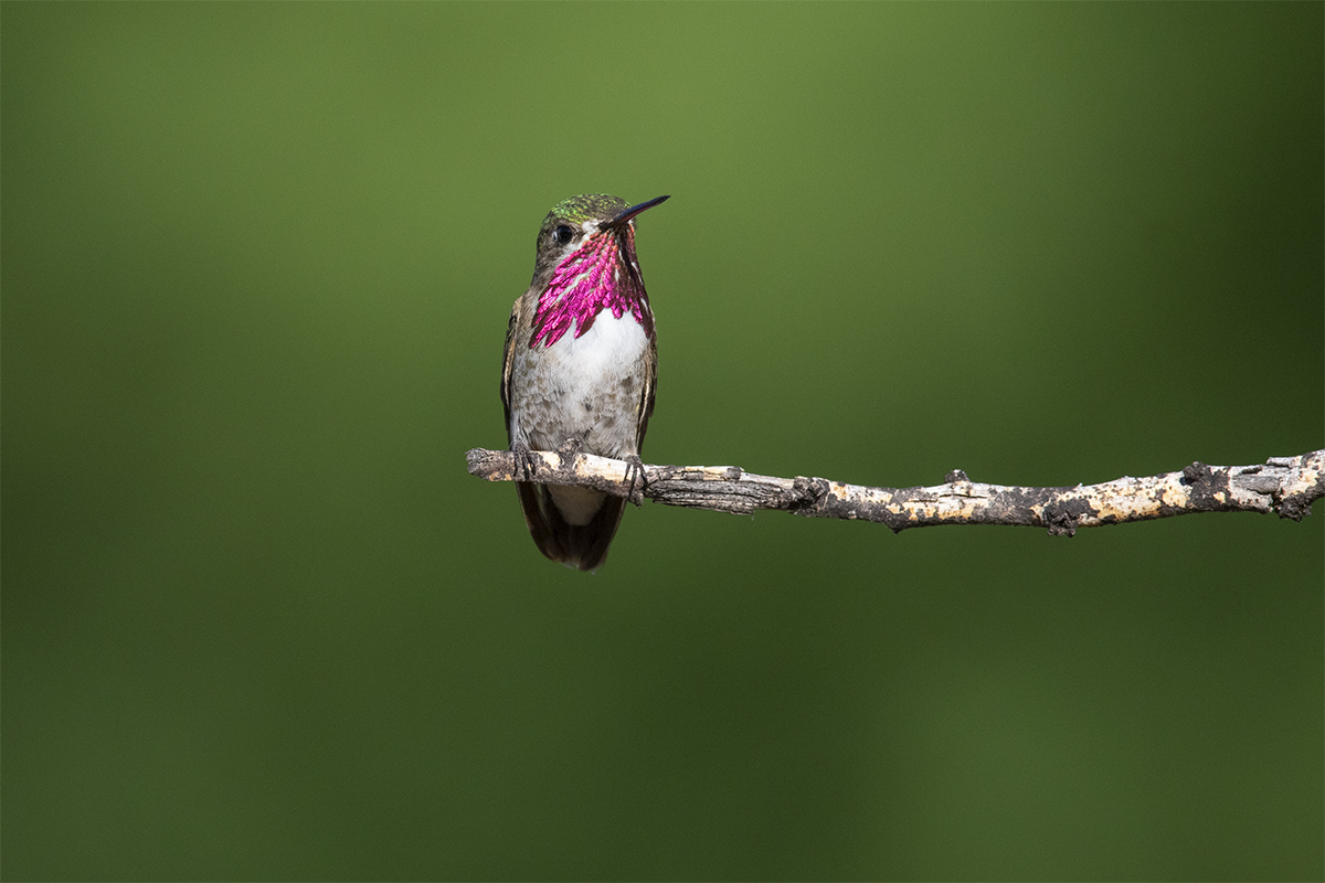 CALLIOPE HUMMINGBIRD - BREWSTER COUNTY TX AUGUST, 2020
