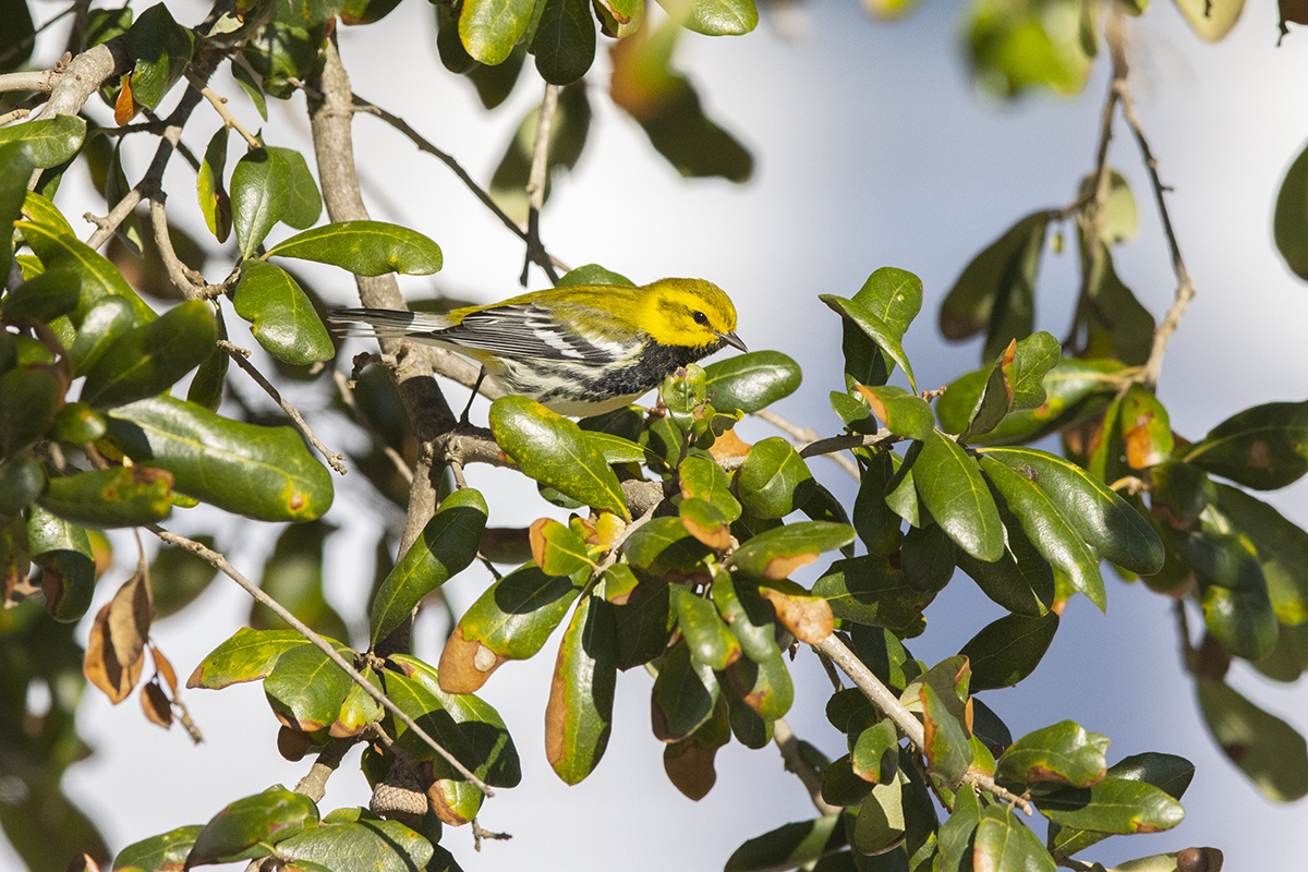 BLACK-THROATED GREEN WARBLER - GALVESTON COUNTY TX OCT, 2020