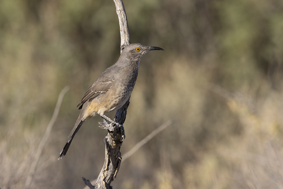 CURVE-BILLED THRASHER - BREWSTER COUNTY TX OCT, 2020