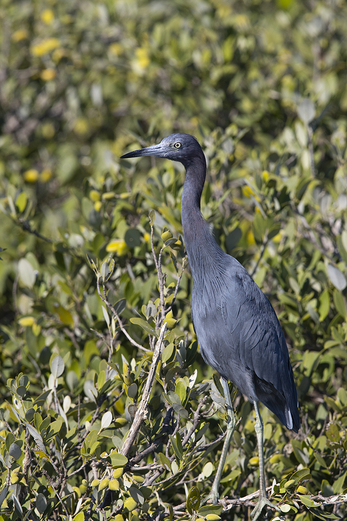 LITTLE BLUE HERON - NUECES COUNTY TX OCT, 2020